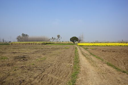 a traditional punjabi landscape with sugar cane and mustard crops under a blue sky photo