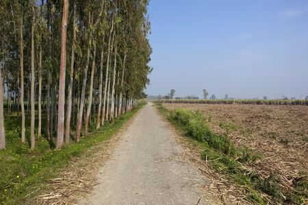 a small country road with row of eucalyptus trees and sugar cane crops under a blue sky in the agricultural state of the punjab india photo