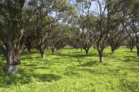 haryana: a beautiful sunny mango orchard at Pinjore Gardens in the state of Haryana India Stock Photo
