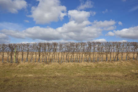 grass verge: una bassa siepe di biancospino su un ciglio erboso nel Yorkshire Wolds Inghilterra sotto un cielo nuvoloso blu