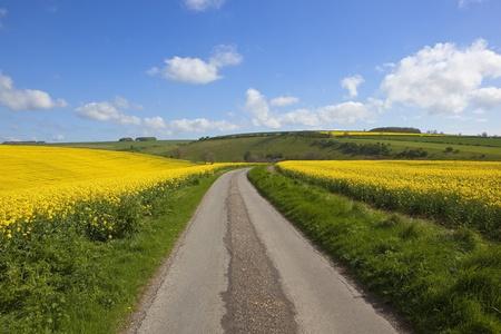 grass verge: una strada di campagna inglese si snoda attraverso un pittoresco ambiente agricolo con brillanti campi di colza giallo sotto un cielo nuvoloso blu
