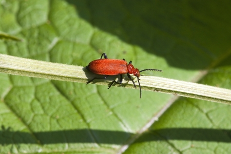 a cardinal beetle with the latin name of pyrochroa coccinea resting on green leaf background photo