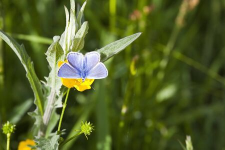 a common blue butterfly polyommatus icarus resting on a bright yellow buttercup flower in summer photo