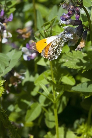 an orange tip butterfly anthocharis cardamines resting on a vetch flower in summer photo