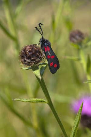 zygaena: a six spot burnet moth zygaena filipendulae resting on a knapweed flower Stock Photo