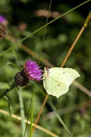 gonepteryx rhamni: a brimstone butterfly latin name gonepteryx rhamni feeding on a purple knapweed flower in summer Stock Photo
