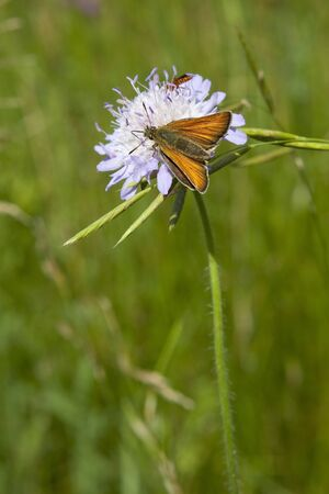 ochlodes: a large skipper butterfly latin name ochlodes venatus feeding on a scabious flower