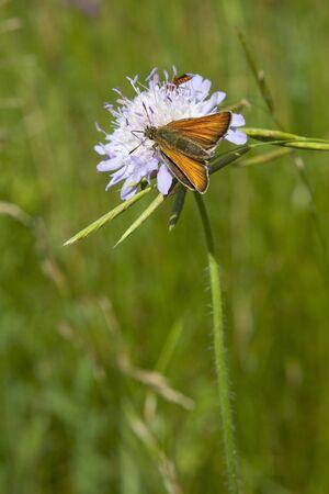 ochlodes: a large skipper butterfly latin name ochlodes venatus feeding on a scabious flower