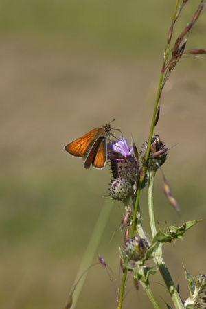 ochlodes: a female large skipper butterfly latin name ochlodes venatus feeding on the purple flower of a creeping thistle plant in summer