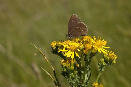 a ringlet butterfly latin name aphantopus hyperantus feeding on a ragwort flower in a meadow in summer Stock Photo