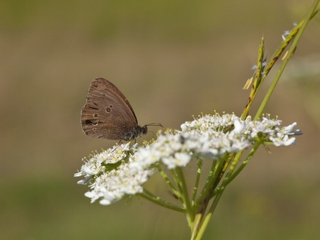 aphantopus: a ringlet butterfly latin name aphantopus hyperantus feeding on a white flower in a meadow in summer