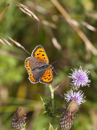 lycaena: a small copper butterfly latin name lycaena phlaeas resting on a thistle flower in summer