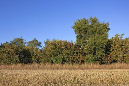 ash tree: a freshly cut stubble field with a row of rowan trees under a blue sky in late summer