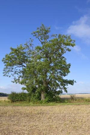 ash tree: un albero di cenere matura in un paesaggio agricolo in yorkshire wolds Inghilterra sotto un cielo blu in tarda estate