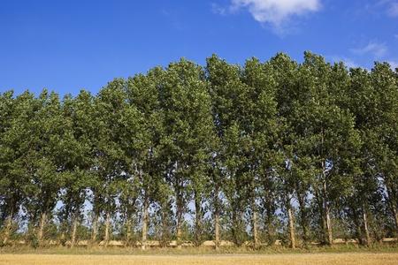poplars: stubble fields and a poplar plantation under a blue summer sky