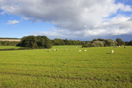 late summer: a scenic pasture with sheep in the yorkshire wolds england under a blue cloudy sky in late summer