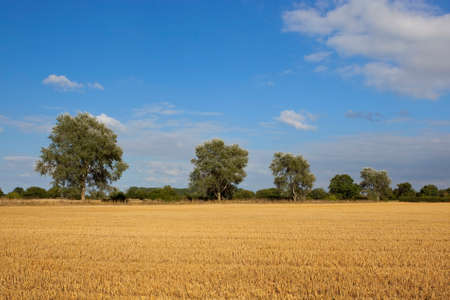 poplars: a row of white poplars beside a golden stubble field at harvest time in yorkshire england under a blue sky in late summer