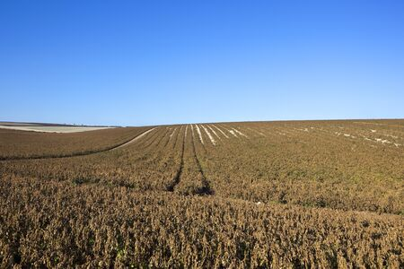undulating: an undulating potato field with dessicated tops ready for harvest under a blue clear sky Stock Photo