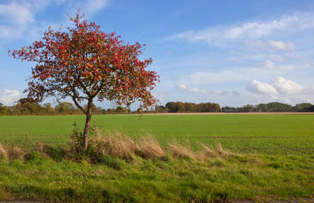 a colorful whitebeam tree latin name sorbus aria beside a field of young wheat on a grassy verge under a blue sky in autumn Stock Photo