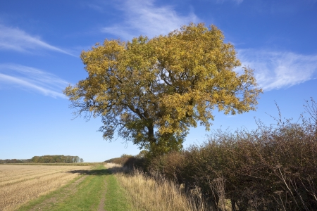 excelsior: autmn fall landcsape with a golden leaved mature ash tree hedgerows and farmland under a blue sky