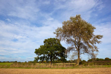 late summer: a white poplar and oak tree beside a stubble field under a blue cloudy sky in late summer Stock Photo