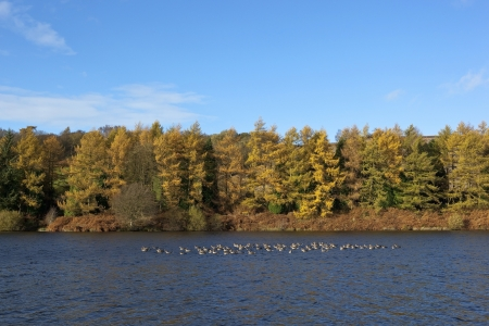 english autumn landscape with greylag geese and colorful trees at cod beck reservoir on the north york moors photo