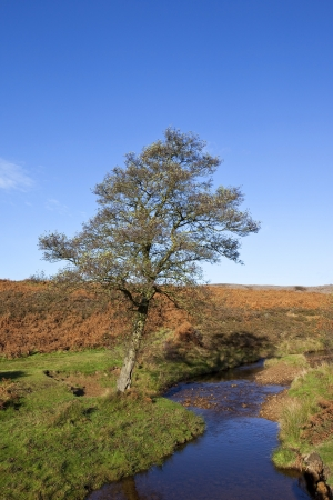 english countryside: autumn english landscape with an alder tree amongst dry bracken ferns and grass on the banks of cod beck stream on the north york moors