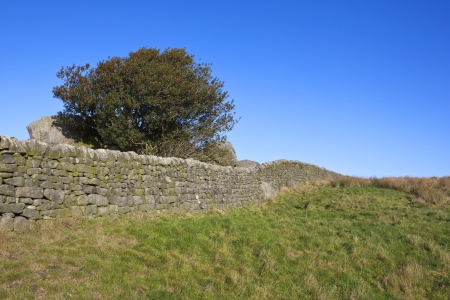laden: english landscape with a berry laden holly tree and dry stone walls by a grassy meadow in the yorkshire dales in november