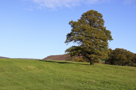 english oak: mature oak tree in a green meadow landscape in autumn Stock Photo
