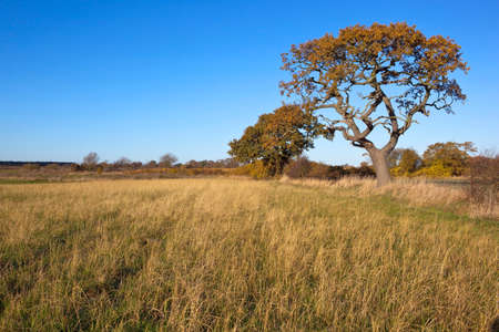 hedgerow: autmn oak trees in a hedgerow with dry grasses in surrounding farmland under a clear blue sky