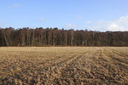 betula pendula: english winter landscape with birch trees and stubble under a blue sky Stock Photo