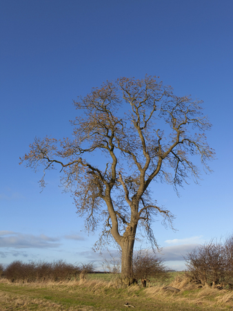 excelsior: a mature ash tree latin name fraxinus excelsior in a winter hedgerow  Stock Photo
