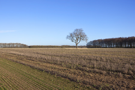 winter agricultural scenery with woodland on the yorkshire wolds england under a blue sky