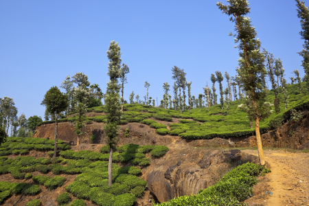 south india: a picturesque tea plantation with a rocky track and grevillia trees under a blue sky in south india