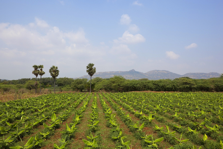 south india: agricultural  landscape with young banana plant crops in kerala south india Stock Photo