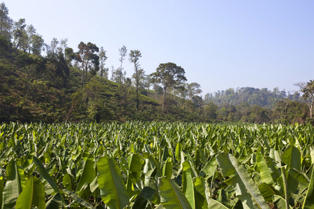 landscape with banana crops and tree covered hillside in kerala south india  photo