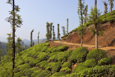 tea plantation landscape in the hills of wayanad kerala south india  Reklamní fotografie