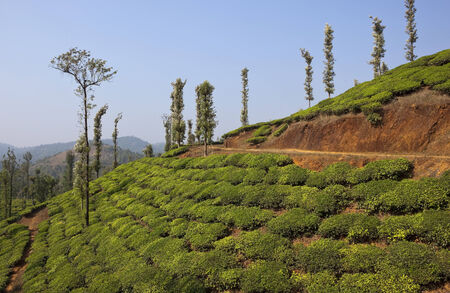 south india: tea covered green landscape of the rolling hills of wayanad in kerala south india Stock Photo