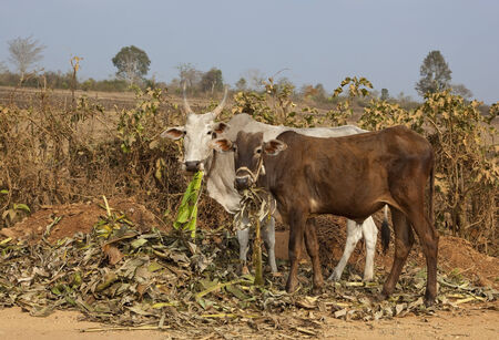 south india: two brahma cows eating by a dusty roadside in the arid landscape of karnataka in south india