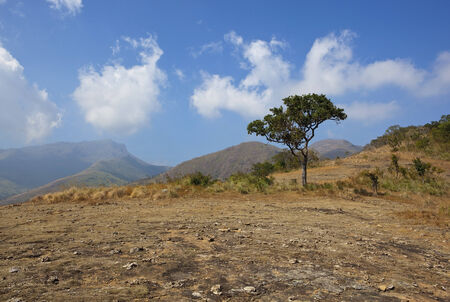 south india: a lone tree on the top of a hilly landscape in the kodaikanal region of tamil nadu south india under a blue sky with fluffy clouds
