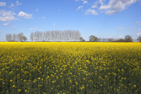A rape seed crop with bright yellow flowers in early summer with a rape seed crop with bright yellow flowers in early summer with poplar trees and hedgerows mightylinksfo