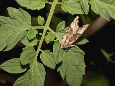 triangulum: a double square spot moth latin name xestia triangulum resting on green tomato leaves