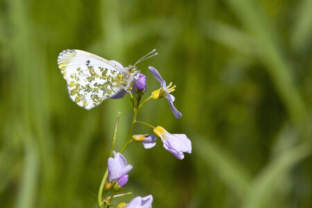a female orange tip butterfly anthocharis cardamines feeding on the flowers of a milk maid plant cardamine pretensis photo