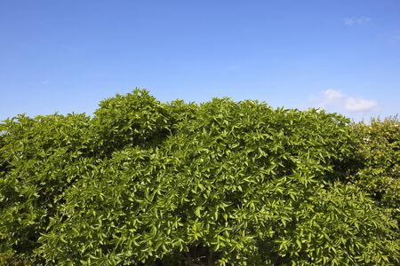 hedgerow: natural background of blue sky over a green elder bush in a springtime hedgerow