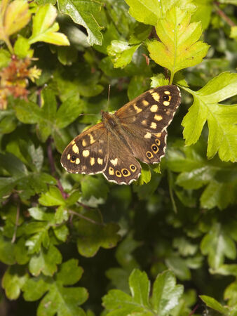 speckled wood: a speckled wood butterfly pararge aegeria resting on green leaves in springtime