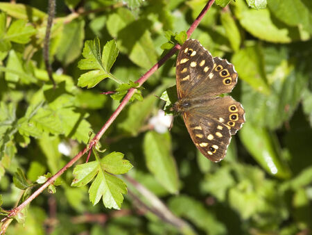 speckled wood: a speckled wood butterfly pararge aegeria resting on hawthorn leaves Stock Photo