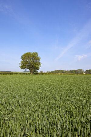 ash tree: campi di grano in un giorno d'estate con un albero di cenere solitario nel Yorkshire Wolds Inghilterra Archivio Fotografico