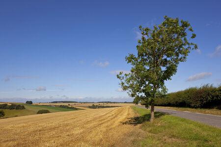ash tree: un frassino solitario accanto a una piccola strada rurale e siepe di biancospino con il paesaggio agricolo panoramica del wolds yorkshire Inghilterra sotto un cielo blu