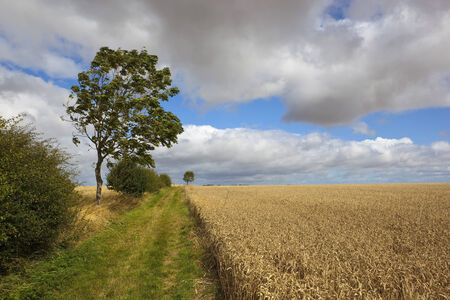 hawthorn hedges and young ash trees by a farm track through golden ripe wheat fields on a windy day photo