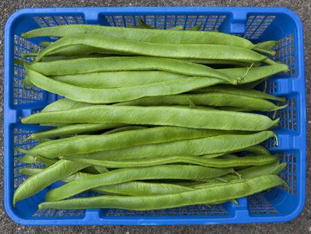 home grown: a blue basket of fresh home grown organic runner beans Stock Photo